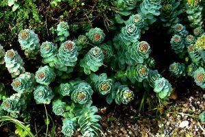 билката на прабългарите