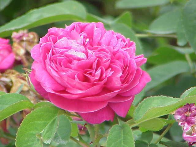 дамасцена, роза