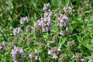 най-лековитите български билки