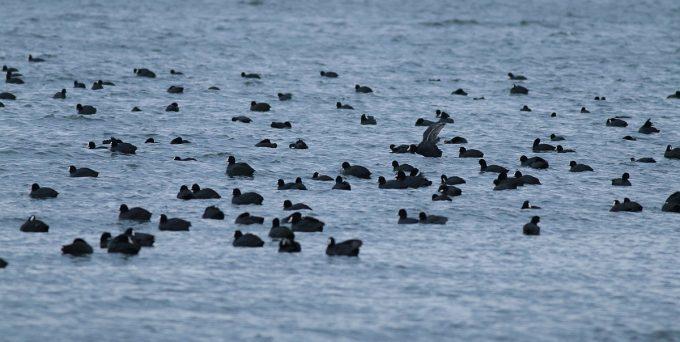 водолюбиви птици