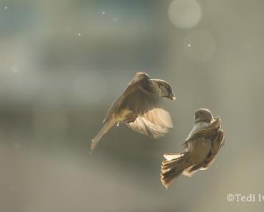 врабчетата в България